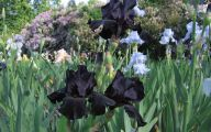 Black Flowers Meaning 19 Wide Wallpaper