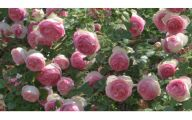 Black Roses For Sale 25 Widescreen Wallpaper