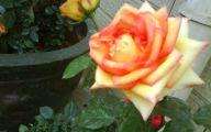 Black Roses For Sale 30 High Resolution Wallpaper