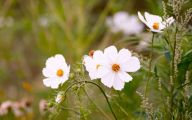 Blooming White Flowers  11 Background Wallpaper
