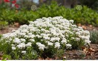 Blooming White Flowers  12 Cool Hd Wallpaper