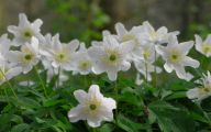 Blooming White Flowers  17 Widescreen Wallpaper
