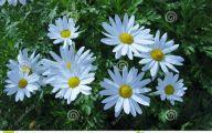 Blooming White Flowers  26 Free Hd Wallpaper