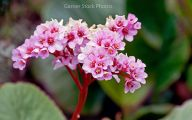 Common Pink Flowers 4 Free Wallpaper