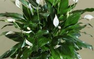 Green Flowers On Peace Lily 20 Background