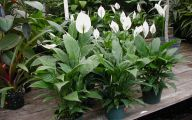 Green Flowers On Peace Lily 8 Background Wallpaper