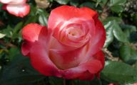List Of Red Flowers 15 Desktop Background