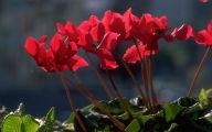 List Of Red Flowers 8 Free Wallpaper