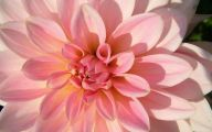 Pink Flowers 139 Widescreen Wallpaper