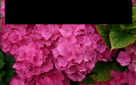 Pink Flowers Names And Picture 19 Widescreen Wallpaper