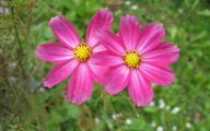 10 Pink Flowers Names and Picture Background Wallpapers