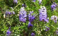 Purple Flowers In Texas 23 Hd Wallpaper