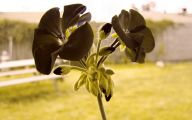 Real Black Flowers 24 Free Wallpaper