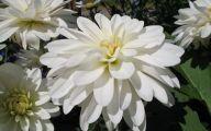 White Flower  18 Background