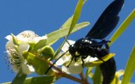 Black Flowers Australia 18 Cool Hd Wallpaper