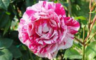 Black Rose For Sale 1 Free Wallpaper