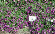 Blue Flowers Annuals 27 Free Hd Wallpaper