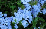 Blue Flowers Annuals 4 Desktop Wallpaper