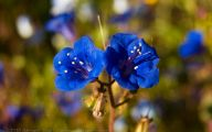 Blue Flowers California 2 Free Hd Wallpaper