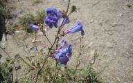 Blue Flowers California 7 Wide Wallpaper