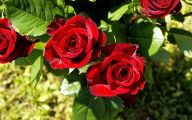 Flowers Pictures Red Roses 18 Free Wallpaper