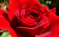 Flowers Pictures Red Roses 21 Background Wallpaper