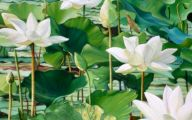Green Flowers On Peace Lily 43 Cool Wallpaper