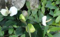 Green Flowers On Peace Lily 44 Cool Hd Wallpaper