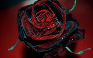 Live Black Roses  14 Hd Wallpaper