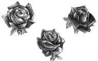 Live Black Roses  35 Hd Wallpaper