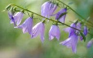 Lovely Lady Purple Flowers 28 Desktop Wallpaper