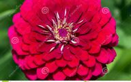 Perennial Red Flowers Pictures 18 Desktop Background