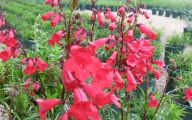 Perennial Red Flowers Pictures 3 Background Wallpaper