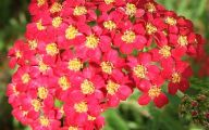 Perennial Red Flowers Pictures 9 Wide Wallpaper