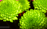 Pictures Of Green Flowers 36 Background Wallpaper
