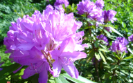 Pink Flowers And Their Names 20 Widescreen Wallpaper