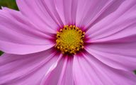 Pink Flowers Available In October 13 Free Hd Wallpaper