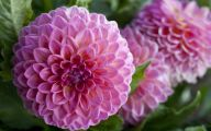 Pink Flowers Beginning With N 27 Widescreen Wallpaper