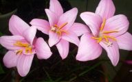 Pink Flowers Bulbs 30 Widescreen Wallpaper