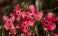 Pink Flowers Bulbs 34 Desktop Wallpaper