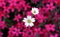 Pretty White Flowers  11 Free Hd Wallpaper