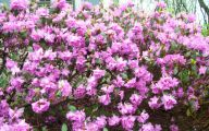 Purple Flowers Bush 11 Desktop Wallpaper