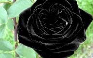 Real Black Roses For Sale 14 High Resolution Wallpaper