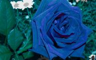 Real Black Roses For Sale 34 Cool Hd Wallpaper