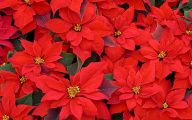 Red Flowers At Christmas 5 Desktop Background