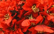 Red Flowers For Christmas 24 Free Hd Wallpaper