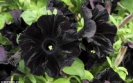 What Flowers Are Black 23 Cool Wallpaper