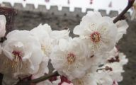 White Flowers Asian Culture 35 Cool Wallpaper