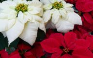 White Flowers At Christmas 4 Wide Wallpaper