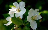 White Flowers Pictures 3 Free Wallpaper